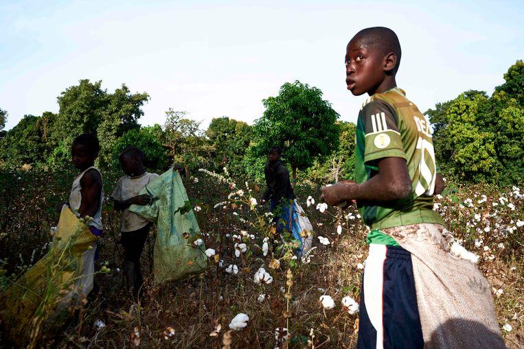Kinderen oogsten katoen in Mali. Archieffoto. Beeld AFP