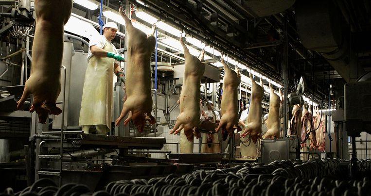 Varkens hangen in een slachthuis in het Duitse Mannheim.  Beeld Getty Images