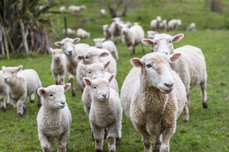 Bijzonder: schaap krijgt vijf lammetjes in één bevalling