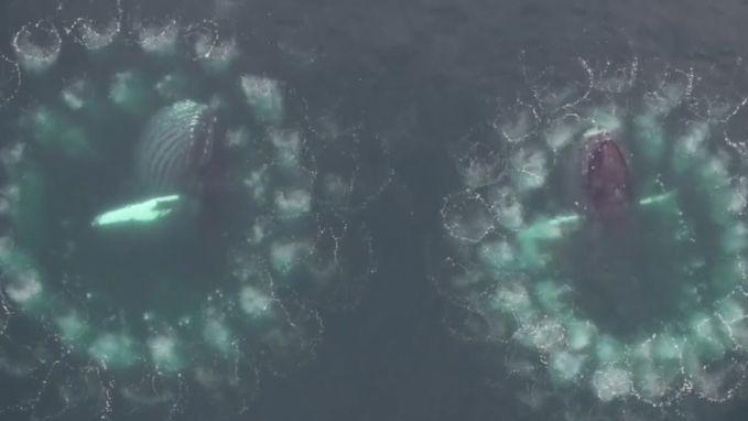 Prachtige beelden tonen hoe walvissen bellen maken om prooien te vangen