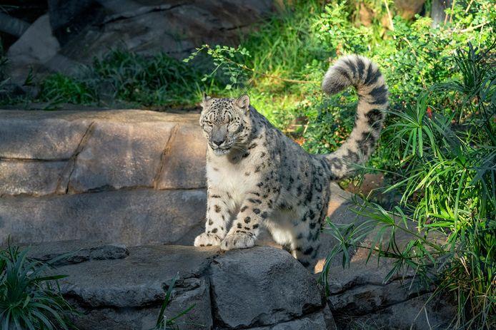 Un léopard des neiges du zoo de San Diego, aux États-Unis, a été testé positif au coronavirus.