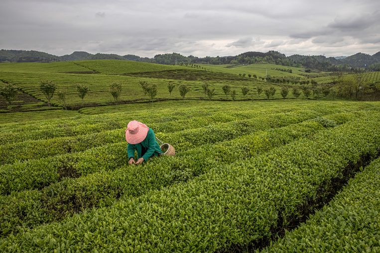 Een Chinese theeplantage.  Beeld EPA