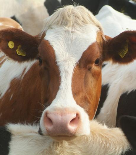Kinderopvang tussen de koeien in Someren