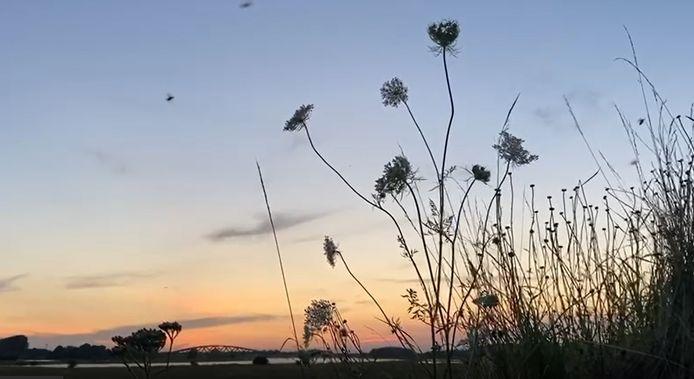 De junikever op de IJsseldijk bij Zwolle. Dit is een videostill.