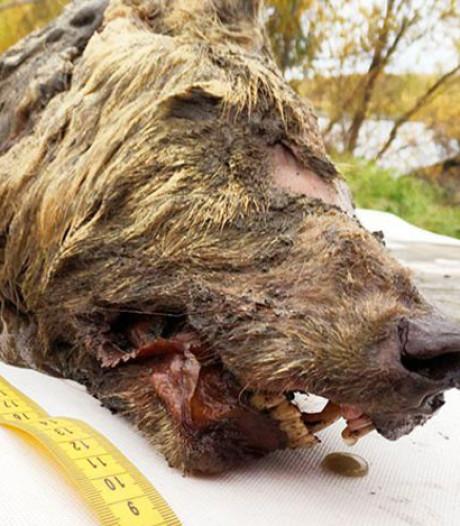 Nog 'verse' kop van 40.000 jaar oude megawolf gevonden in Siberië