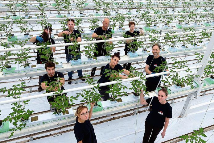 Arbeidsmigranten aan het werk in de tomatenkassen van Jan van Marrewijk op het AFC Nieuw Prinsenland in Dinteloord.