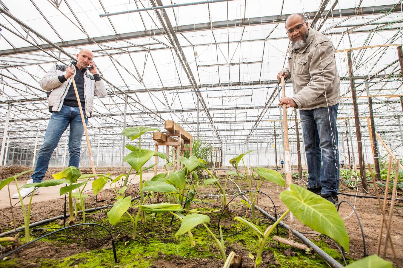 Aad van der Kruk heeft moestuinen onder glas. Ibrahim verbouwt er Surinaamse groenten.