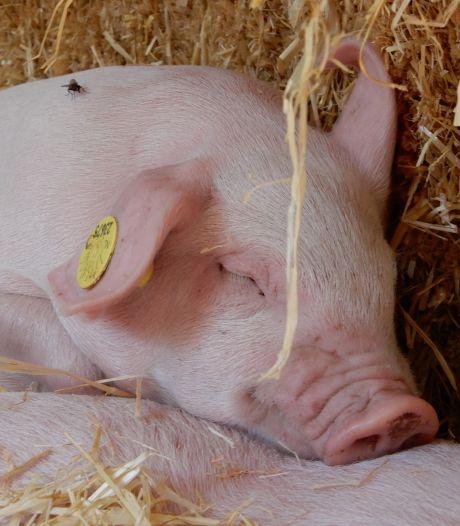 Varkenshouder moet uitstoot varkensstallen Westerbeek fors inperken