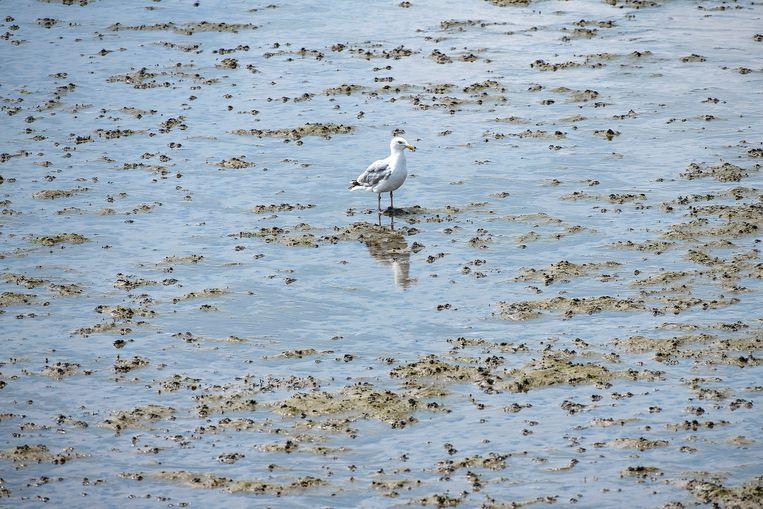 Een mantelmeeuw, de enige vogel die zich in de buurt van de spotters durft te wagen.  Beeld Guus Dubbelman / de Volkskrant