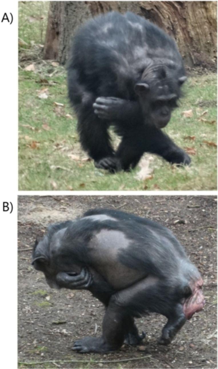 Dit maffe loopje is onder vrouwelijke chimpansees in Burgers Zoo erg populair. Beeld