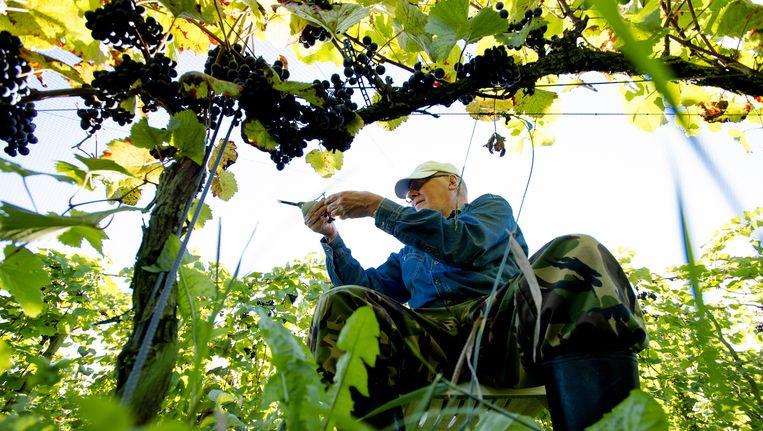 De oogst van Nederlandse wijndruiven bij biologische wijngaard Domein Hof te Dieren. Beeld ANP