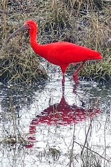 Fotografe Adrie legt exotische, oranjerode ibis vast: 'Vogel moet wel ergens zijn ontsnapt'