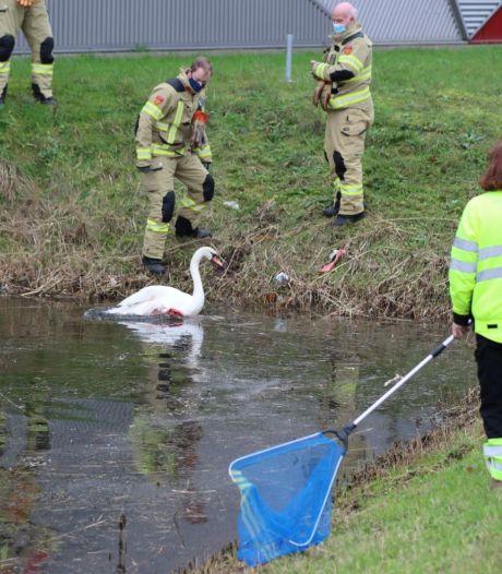 Brandweerlieden halen bebloede zwaan uit vijver Ede