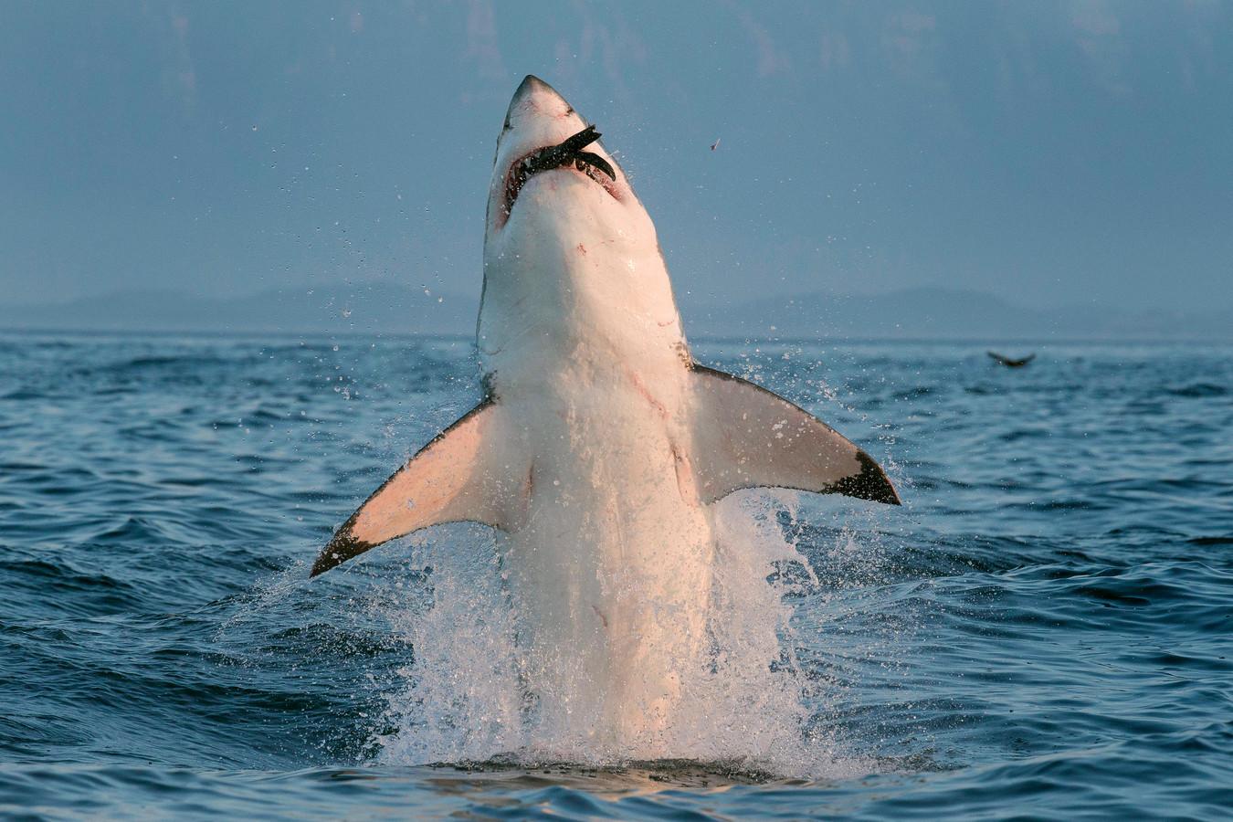 Illustratiebeeld witte haai.