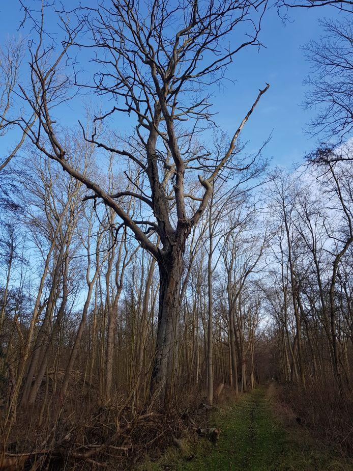 De 280 jaar oude beuk in het Slotbos is dood, maar mag blijven staan.