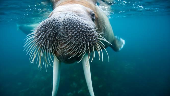 Walrussen tellen vanuit huis: natuurorganisatie vraagt iedereen om hulp