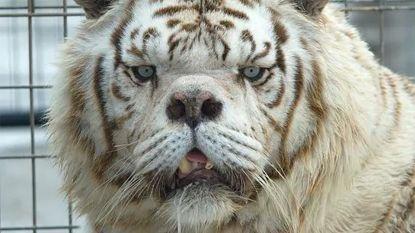 Het trieste verhaal van Kenny, de lelijkste tijger ter wereld