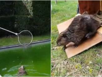 Animal Rescue redt bever uit zwembad van Leuvenaars