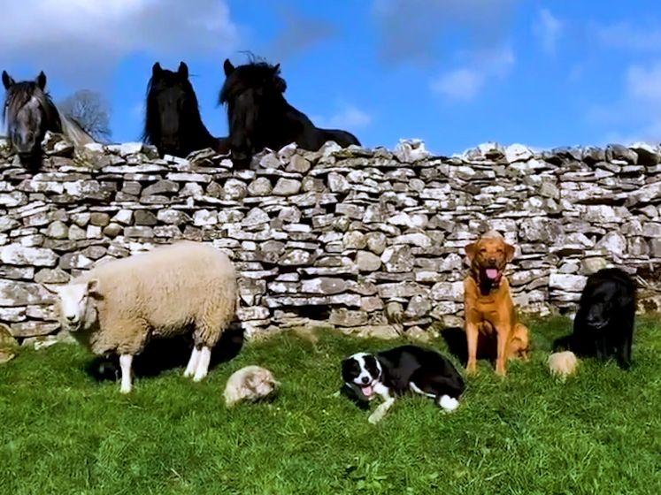 Arm schaap Bella werd verstoten door moeder en denkt nu dat het een hond is