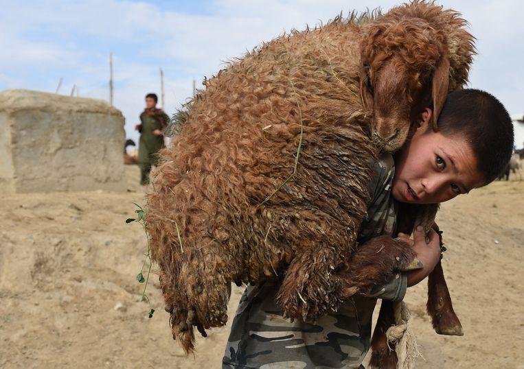 Een Afghaanse jongen draagt een schaap op zijn rug. Beeld AFP