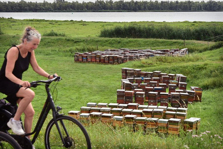 Langs de Biesbosch staan honderden bijenkasten van commerciële imkers. Hun honingbijen eten het voedsel van de wilde bijen in het natuurgebied. Beeld Marcel van den Bergh / de Volkskrant
