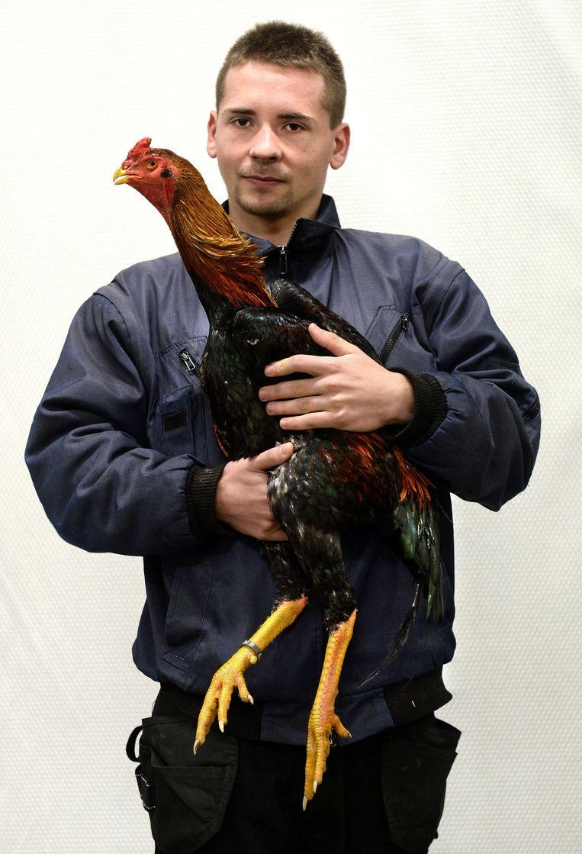 Luud Holleman uit Ederveen met zijn Shamo (Japans vechtras) Beeld Marcel van den Bergh