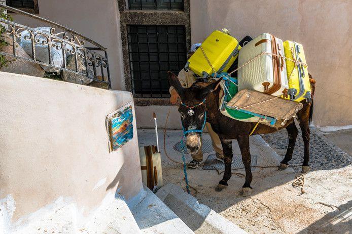 De zwaarbeladen ezels moeten de steile steegjes van Santorini dagelijks trotseren.
