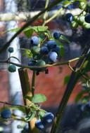 Een struik met blauwe bessen zorgt niet alleen voor een grote oogst, hij toont ook erg mooi op je terras.