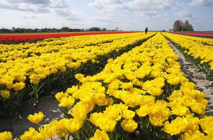 Een tulpenveld bij Terhole.