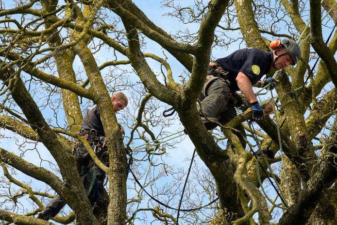 Foto ter illustratie: boomchirurgen aan het werk in esdoorns. In Zeist zullen ze zich hullen in beschermende kleding vanwege de aanwezige schimmel.