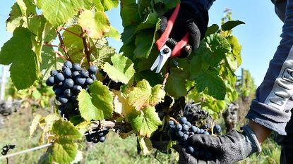 Zeven ton druiven gestolen uit Franse topdomeinen. Politie staat voor een raadsel