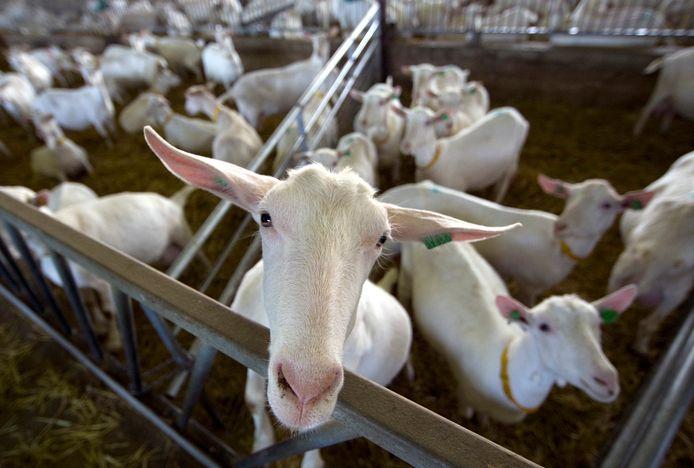 Q-koorts komt van geiten en schapen, maar kan via de lucht op mensen worden overgedragen.
