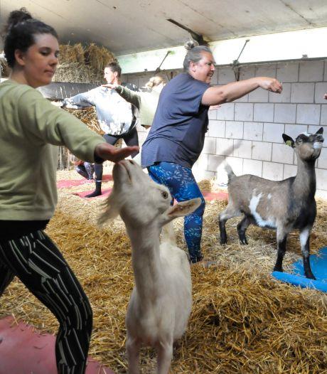 Zelfs Bas Smit doet het: met je matje in het stro en een geit likkend aan je oor yoga doen