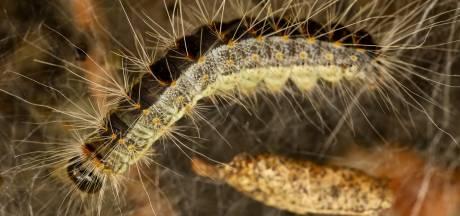 Haaksbergen geeft strijd tegen de eikenprocessierups op