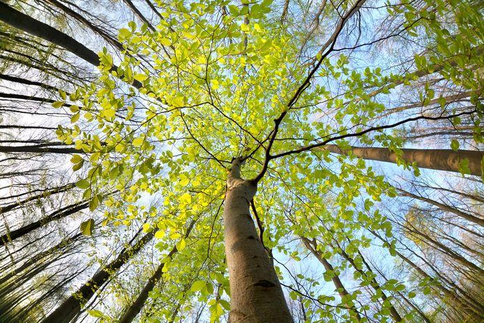 """Advocaat: """"Het wringt dat bomen geen rechten hebben, tenzij een mens ervoor opkomt. Onze zaak is absoluut verdedigbaar."""" (Illustratiefoto)"""