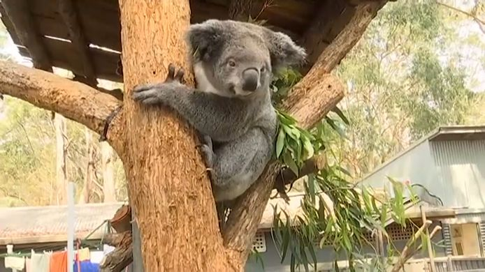 Een koala die de bosbranden overleefde