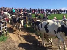 Koeienspektakel trekt vele honderden bezoekers