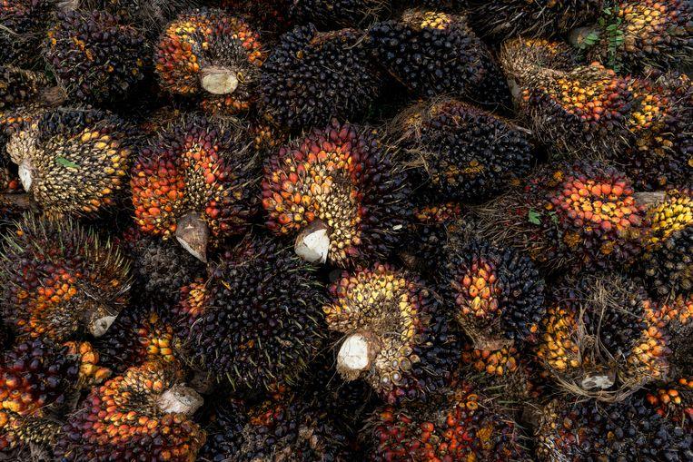 Vruchten van de oliepalm. Ontbossing voor palmolieplantages brengt  diersoorten met infectieziekten sneller in contact met andere dieren en de mens.   Beeld Getty Images