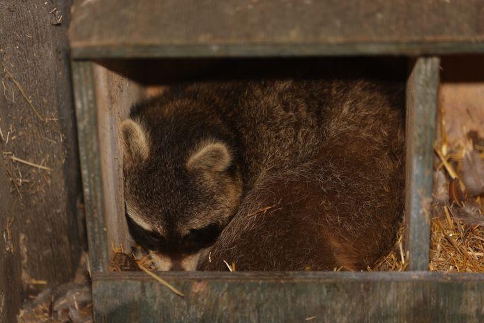 Tweede wasbeer duikt op in kippenhok in Vught.