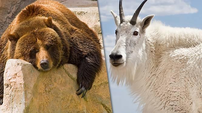 Ongezien: berggeit doodt grizzlybeer met scherpe hoorns