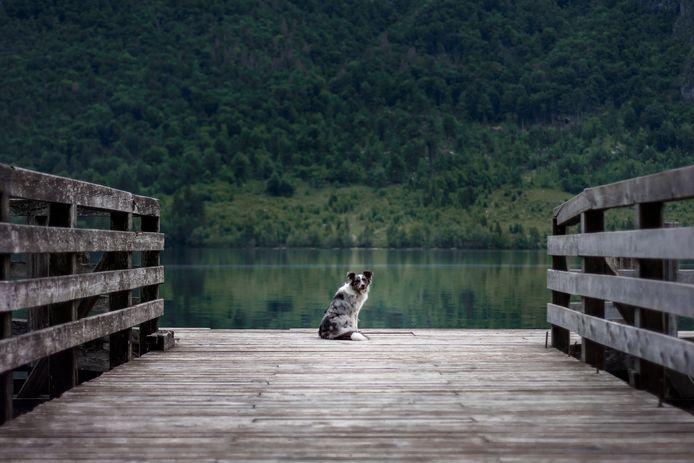 Hond Mira van Karst Jongsma is ontvoerd in Bennekom.