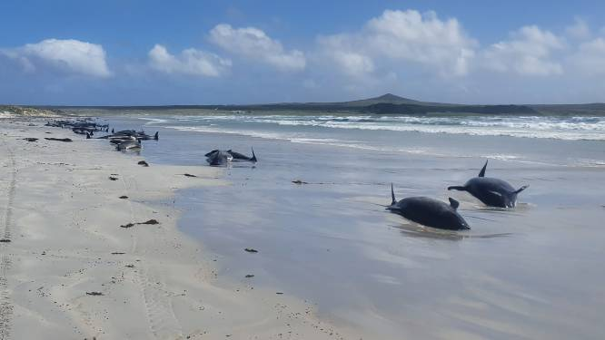 Bijna honderd dode grienden aangespoeld op Chatham Eilanden