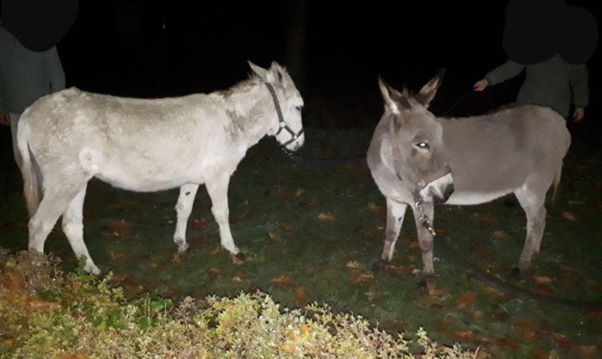 De twee ezels, gefotografeerd door de Berkellandse poltieagenten.