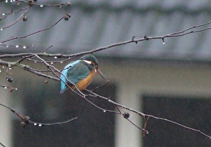 Marleen Scholten zag en fotografeerde er vorige week een in de tuin in Leuvenheim.
