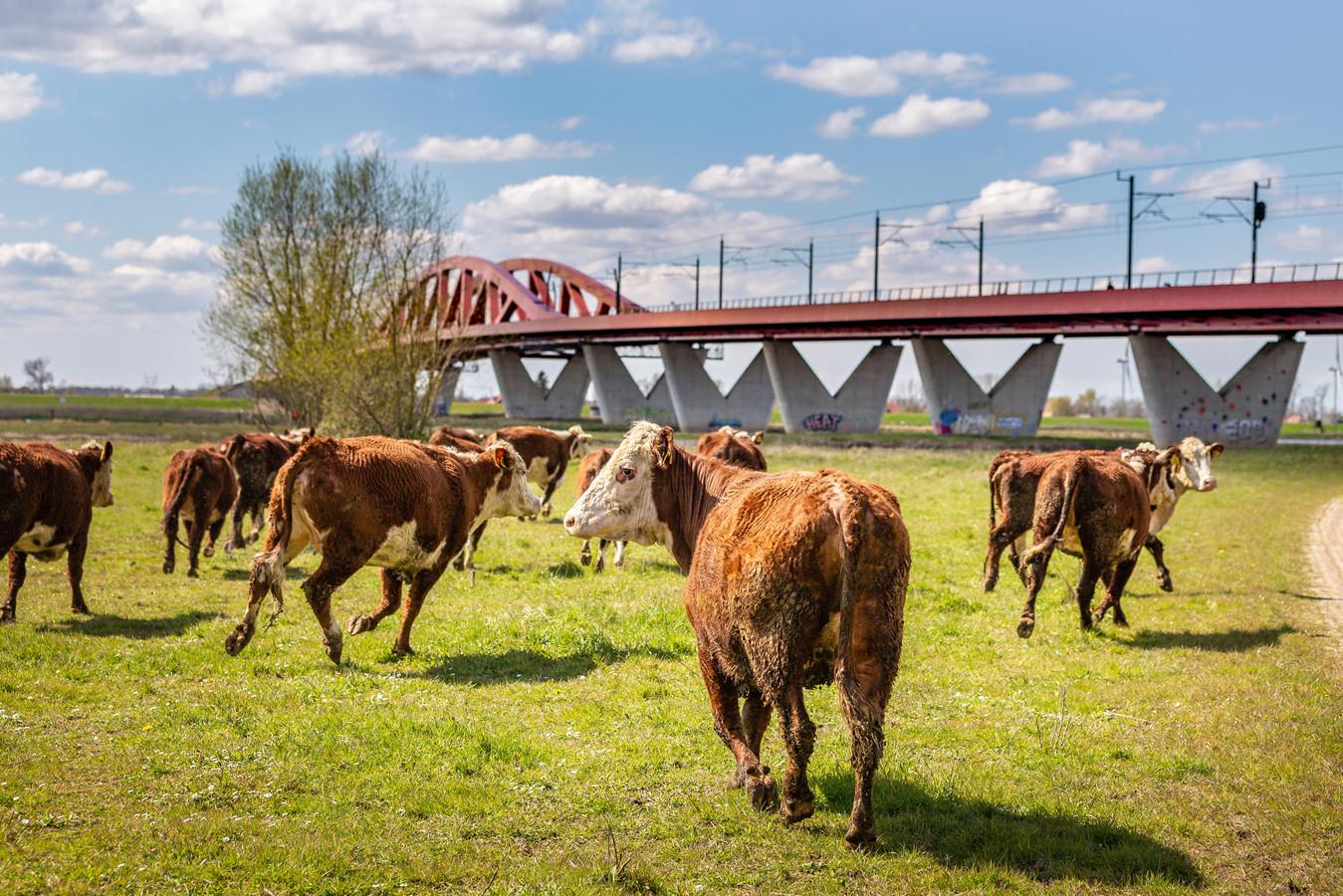 De koeien worden weer de weide ingestuurd, nadat ze eerder dit jaar moesten wijken voor hoog water.