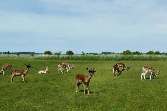 6ec4a1e2719 Analyse: De Haringvreter werd toch nog een hertenfarm | Zeeuws nieuws |  pzc.nl
