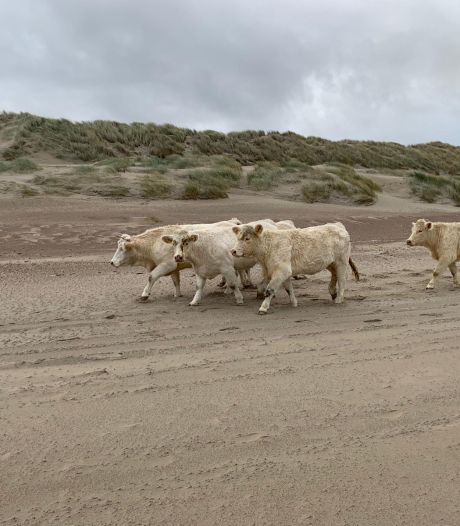 Ontsnapte koeien rennen strand Burgh-Haamstede op