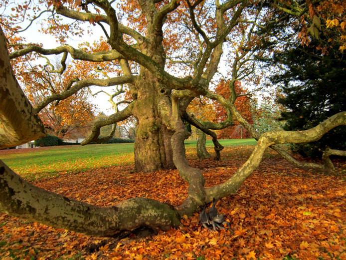 De plataan tijdens de herfst