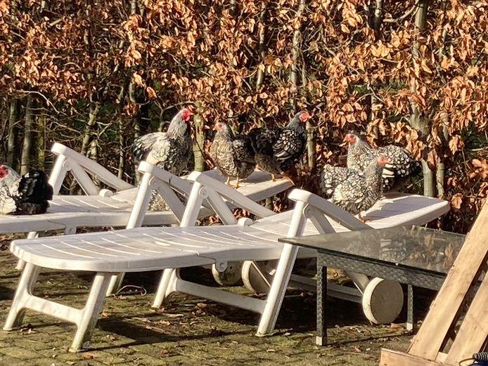 Deze kippen zitten ook lekker in het zonnetje in Noordhoek.