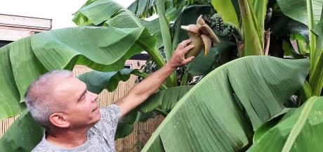 Twee trossen bananen aan plant in tuin Kaatsheuvel: 'Iedereen lachte ons uit, nu komt iedereen kijken'